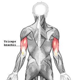daniele macri personal trainer roma anatomia del tricipite